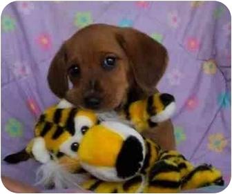 Shepherd (Unknown Type)/Basset Hound Mix Puppy for adoption in McArthur, Ohio - CECILE