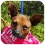 Photo 1 - Chihuahua/Miniature Pinscher Mix Dog for adoption in Palmdale, California - Bell