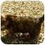 Photo 4 - Dachshund Puppy for adoption in House Springs, Missouri - Miranda