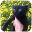 Photo 2 - Domestic Shorthair Kitten for adoption in Studio City, California - Mini