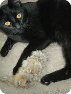 Domestic Shorthair Cat for adoption in Chicago, Illinois - Kenya