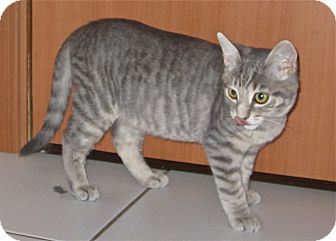 Domestic Shorthair Cat for adoption in Lafayette, California - Precious FOSTER NEEDED