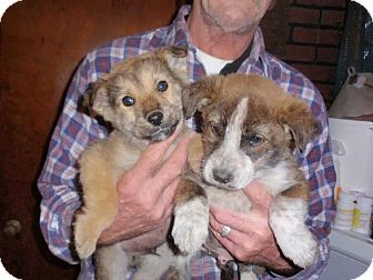 Collie/Sheltie, Shetland Sheepdog Mix Puppy for adoption in Gregory, South Dakota - Collie Puppies