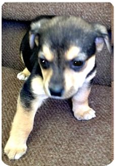 Collie/Shepherd (Unknown Type) Mix Puppy for adoption in Orland Park, Illinois - Lee