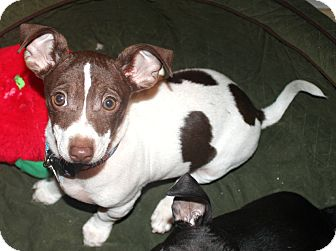 Chihuahua/Dachshund Mix Puppy for adoption in Temecula, California - Stuart