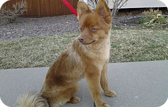 Pomeranian Dog for adoption in Morrison, Colorado - Sir Elton