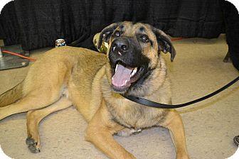 German Shepherd Dog/Labrador Retriever Mix Dog for adoption in Colorado Springs, Colorado - Brock