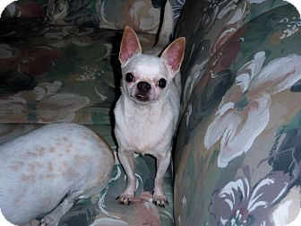 Chihuahua Mix Dog for adoption in Homosassa, Florida - Little Bit
