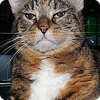 Adopt A Pet :: Munchkin - Plainville, MA