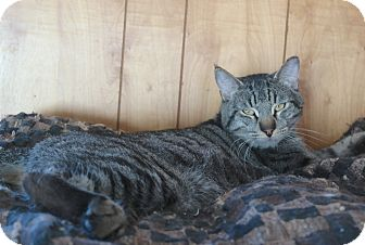 Domestic Shorthair Cat for adoption in San Pablo, California - GRANDPA