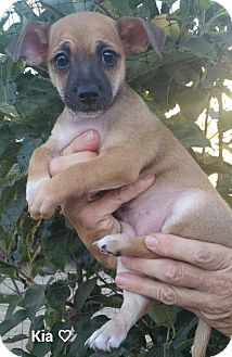 Terrier (Unknown Type, Small) Mix Puppy for adoption in Yorba Linda, California - Kia