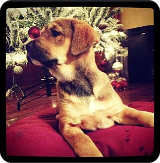 Shepherd (Unknown Type)/Labrador Retriever Mix Puppy for adoption in Grand Bay, Alabama - Trixi