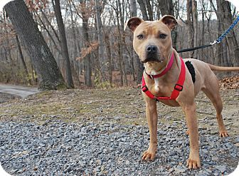 Pit Bull Terrier Mix Dog for adoption in New Castle, Pennsylvania - Pickle