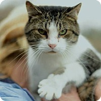 Domestic Shorthair Cat for adoption in Charlotte, North Carolina - Raymond