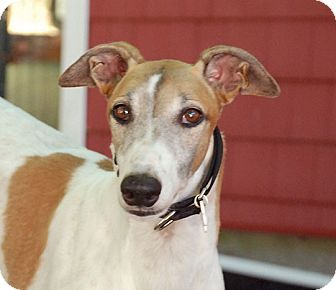 Greyhound Dog for adoption in Ware, Massachusetts - Kal