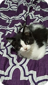 Domestic Shorthair Kitten for adoption in Woodstock, Ontario - Domino