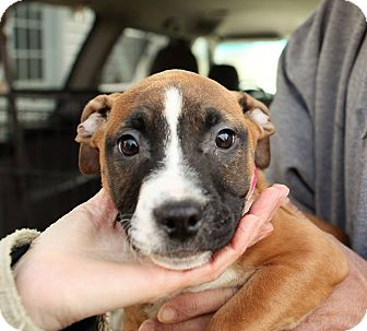 Boxer/Pit Bull Terrier Mix Puppy for adoption in Greensboro, Maryland - Annabelle
