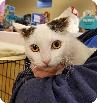 Domestic Shorthair Kitten for adoption in Lombard, Illinois - Hazel