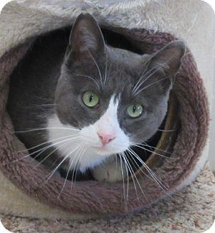 Domestic Shorthair Cat for adoption in Glenwood, Minnesota - Tikki