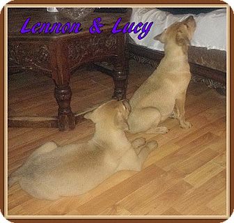 Retriever (Unknown Type) Mix Puppy for adoption in Ahoskie, North Carolina - Lennon & Lucy