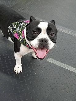 American Bulldog Mix Dog for adoption in Plainfield, Illinois - Adele