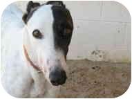 Greyhound Dog for adoption in St Petersburg, Florida - Wonder