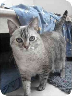 Scottish Fold Cat for adoption in Davis, California - Emma