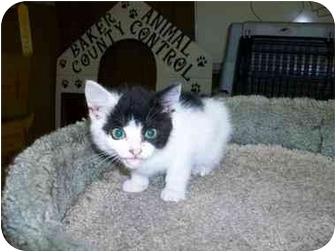 Domestic Mediumhair Kitten for adoption in Macclenny, Florida - F1150