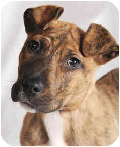 American Pit Bull Terrier Mix Puppy for adoption in Chicago, Illinois - Frankie