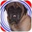 Photo 1 - Bullmastiff Dog for adoption in Rolling Hills Estates, California - Sullivan