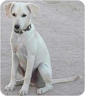 Labrador Retriever/Beagle Mix Dog for adoption in Lucerne Valley, California - mini Labs