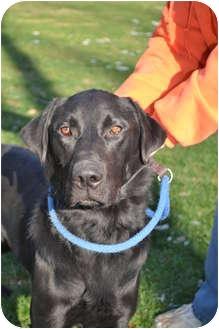 Labrador Retriever Dog for adoption in Lewisville, Indiana - Jack