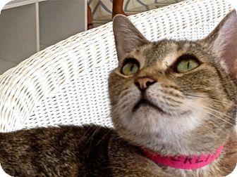 Hemingway/Polydactyl Cat for adoption in Naples, Florida - Merlin