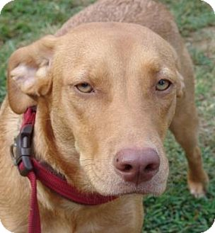 Labrador Retriever/Terrier (Unknown Type, Medium) Mix Dog for adoption in Plainfield, Connecticut - Buttercup