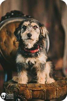 Petit Basset Griffon Vendeen Mix Dog for adoption in Portland, Oregon - Page