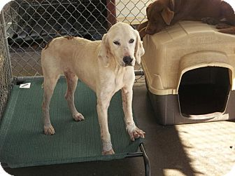 Treeing Walker Coonhound Mix Dog for adoption in Henderson, North Carolina - Tracker