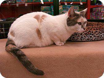 Domestic Shorthair Cat for adoption in Fountain Hills, Arizona - MATILDA