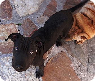 Shar Pei Mix Puppy for adoption in Apple Valley, California - Lily Grace in Florida