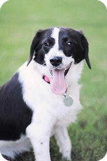 Border Collie/Terrier (Unknown Type, Medium) Mix Dog for adoption in Huntsville, Alabama - Tessa