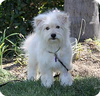 Maltese/Poodle (Miniature) Mix Puppy for adoption in Newport Beach, California - QUENTIN
