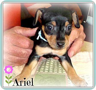 Miniature Pinscher Puppy for adoption in Sacramento, California - Ariel