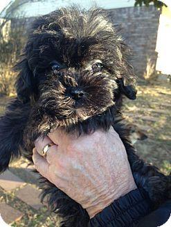 Shih Tzu/Miniature Poodle Mix Puppy for adoption in Glastonbury, Connecticut - SCARLET