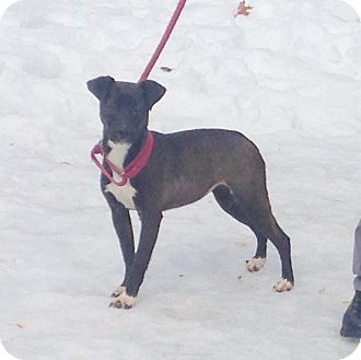 Labrador Retriever/Pit Bull Terrier Mix Dog for adoption in Bloomfield, Connecticut - Tuatha