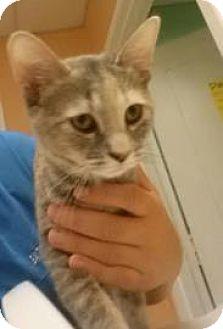 Domestic Shorthair Kitten for adoption in Reisterstown, Maryland - Freya