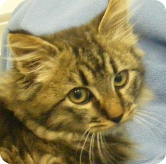 Domestic Mediumhair Kitten for adoption in Olive Branch, Mississippi - Beau