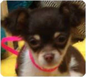 Chihuahua Puppy for adoption in Beachwood, Ohio - Baby Java