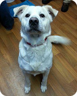Labrador Retriever/Great Pyrenees Mix Dog for adoption in Lisbon, Ohio - Isaac- Adoption Pending