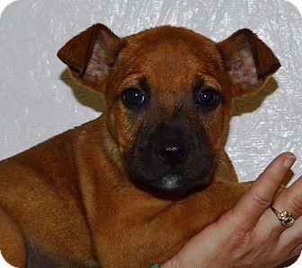 Boxer Mix Puppy for adoption in Pleasant Plain, Ohio - Sheba
