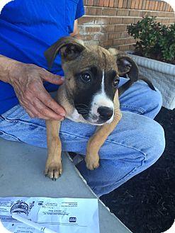 Shepherd (Unknown Type)/Boxer Mix Puppy for adoption in Byhalia, Mississippi - Barkley