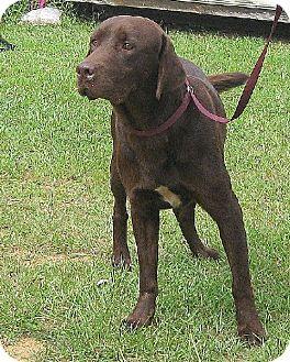 Labrador Retriever Dog for adoption in Wetumpka, Alabama - #81799 'Grant'